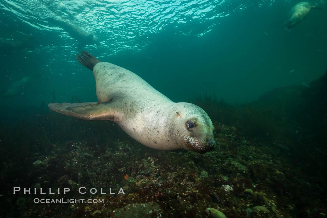 Steller sea lion underwater, Norris Rocks, Hornby Island, British Columbia, Canada. Hornby Island, British Columbia, Canada, Eumetopias jubatus, natural history stock photograph, photo id 32756