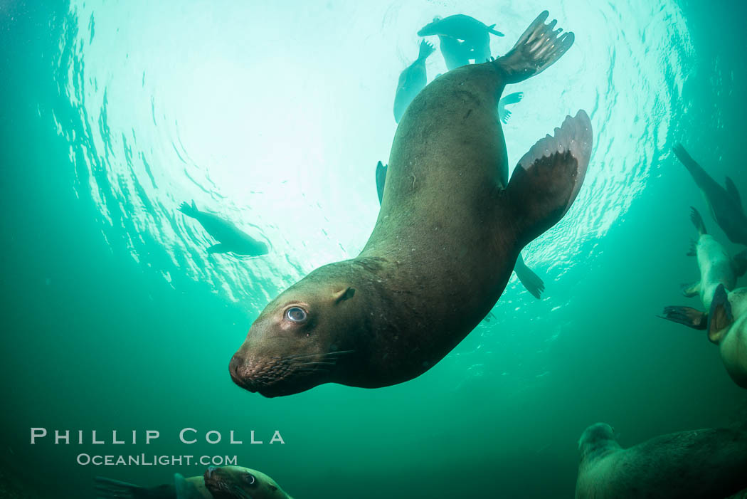 Steller sea lion underwater, Norris Rocks, Hornby Island, British Columbia, Canada., Eumetopias jubatus, natural history stock photograph, photo id 32667