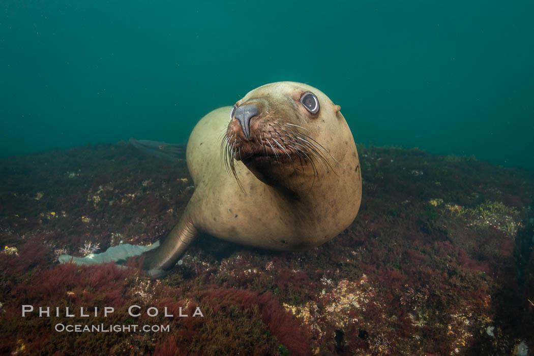 Steller sea lion underwater, Norris Rocks, Hornby Island, British Columbia, Canada. Hornby Island, British Columbia, Canada, Eumetopias jubatus, natural history stock photograph, photo id 32723