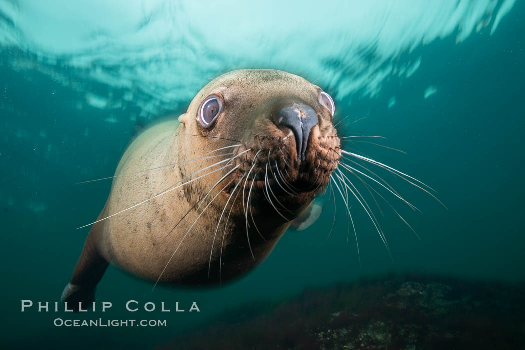 Steller sea lion underwater, Norris Rocks, Hornby Island, British Columbia, Canada. Hornby Island, British Columbia, Canada, Eumetopias jubatus, natural history stock photograph, photo id 32751