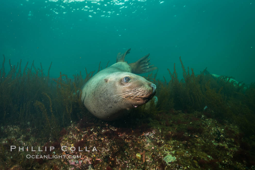 Steller sea lion underwater, Norris Rocks, Hornby Island, British Columbia, Canada. Hornby Island, British Columbia, Canada, Eumetopias jubatus, natural history stock photograph, photo id 32755