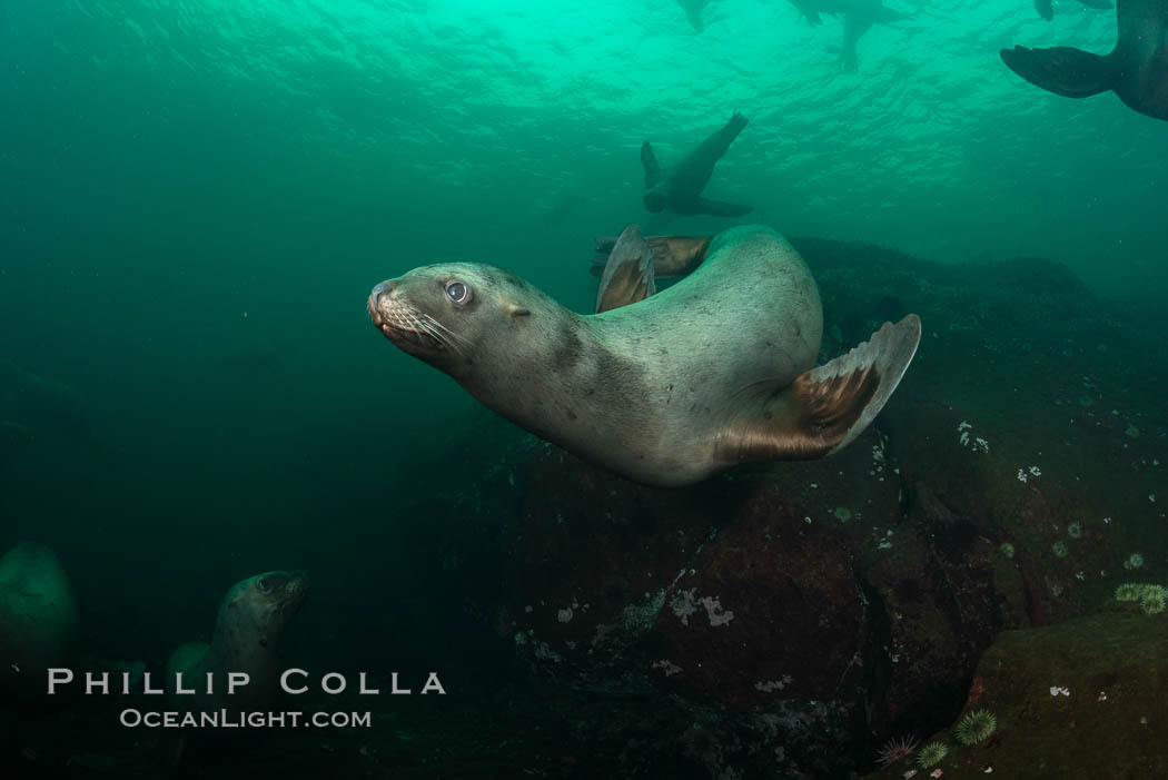 Steller sea lion underwater, Norris Rocks, Hornby Island, British Columbia, Canada. Hornby Island, British Columbia, Canada, Eumetopias jubatus, natural history stock photograph, photo id 32775