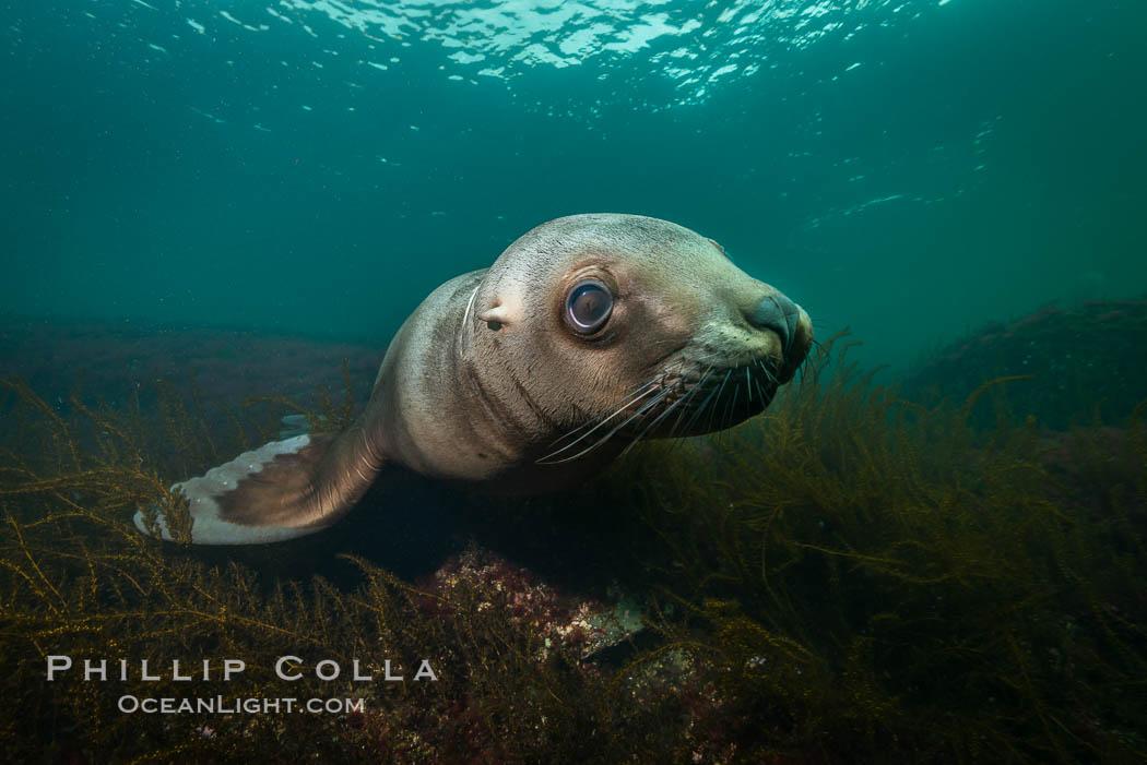Steller sea lion underwater, Norris Rocks, Hornby Island, British Columbia, Canada. Hornby Island, British Columbia, Canada, Eumetopias jubatus, natural history stock photograph, photo id 32661