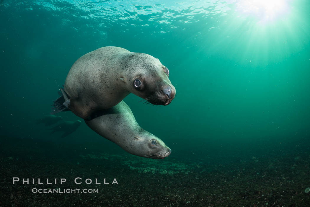 Steller sea lion underwater, Norris Rocks, Hornby Island, British Columbia, Canada. Hornby Island, British Columbia, Canada, Eumetopias jubatus, natural history stock photograph, photo id 32733