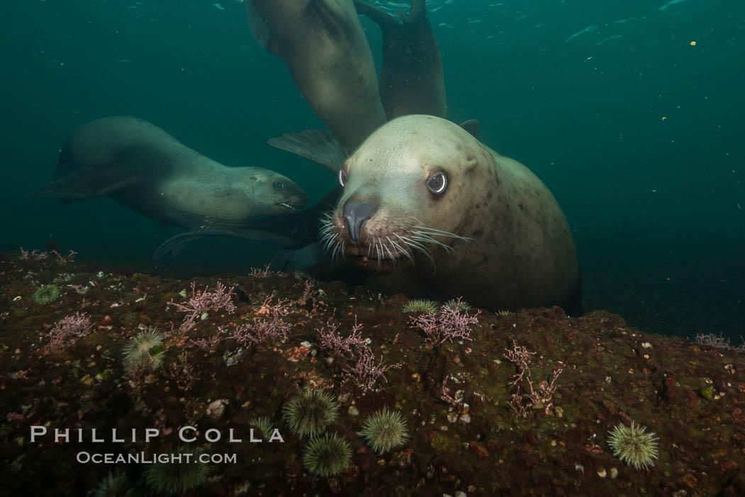 Steller sea lion underwater, Norris Rocks, Hornby Island, British Columbia, Canada. Hornby Island, British Columbia, Canada, Eumetopias jubatus, natural history stock photograph, photo id 32741