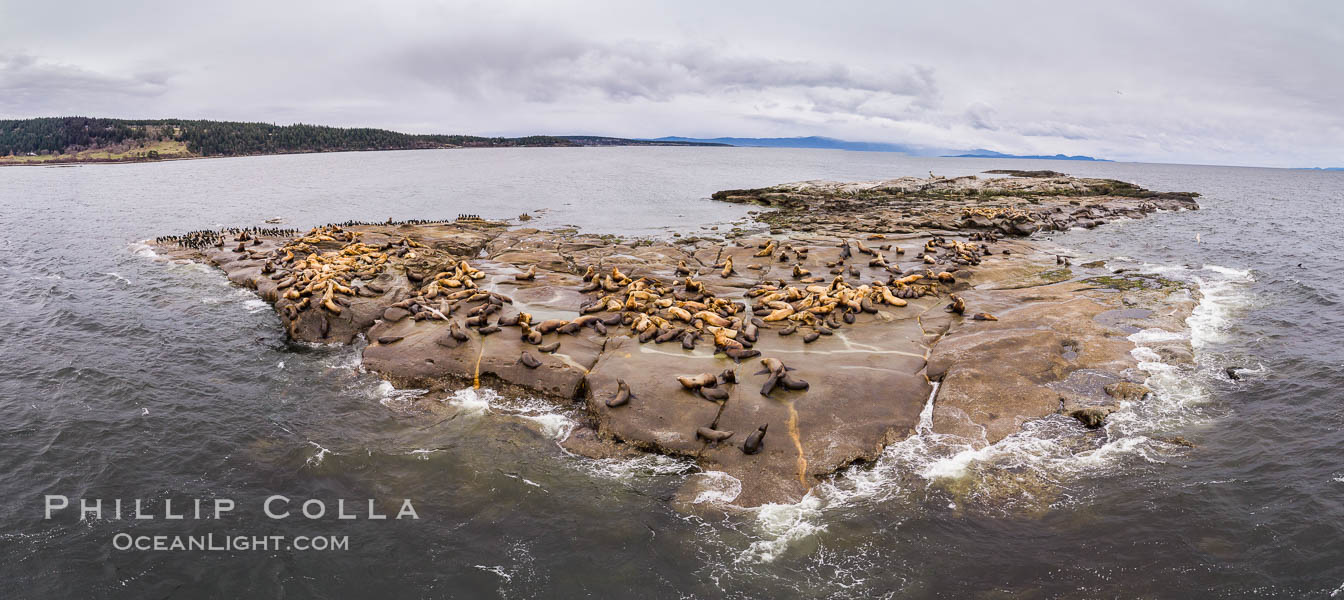 Steller Sea Lions atop Norris Rocks, Hornby Island and Vancouver Island, panoramic photo. British Columbia, Canada, Eumetopias jubatus, natural history stock photograph, photo id 34468