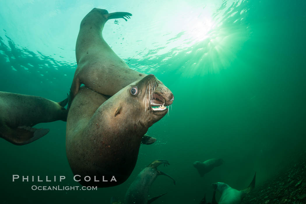 Young Steller sea lions mock jousting underwater,  a combination of play and mild agreession, Norris Rocks, Hornby Island, British Columbia, Canada. Hornby Island, British Columbia, Canada, Eumetopias jubatus, natural history stock photograph, photo id 32665