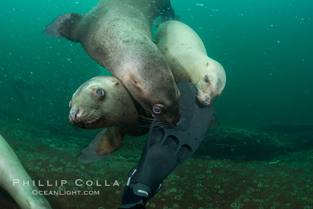 Steller sea lions nibble my fin, curiousity and playfulness, Norris Rocks, Hornby Island, British Columbia, Canada. Hornby Island, British Columbia, Canada, Eumetopias jubatus, natural history stock photograph, photo id 32793