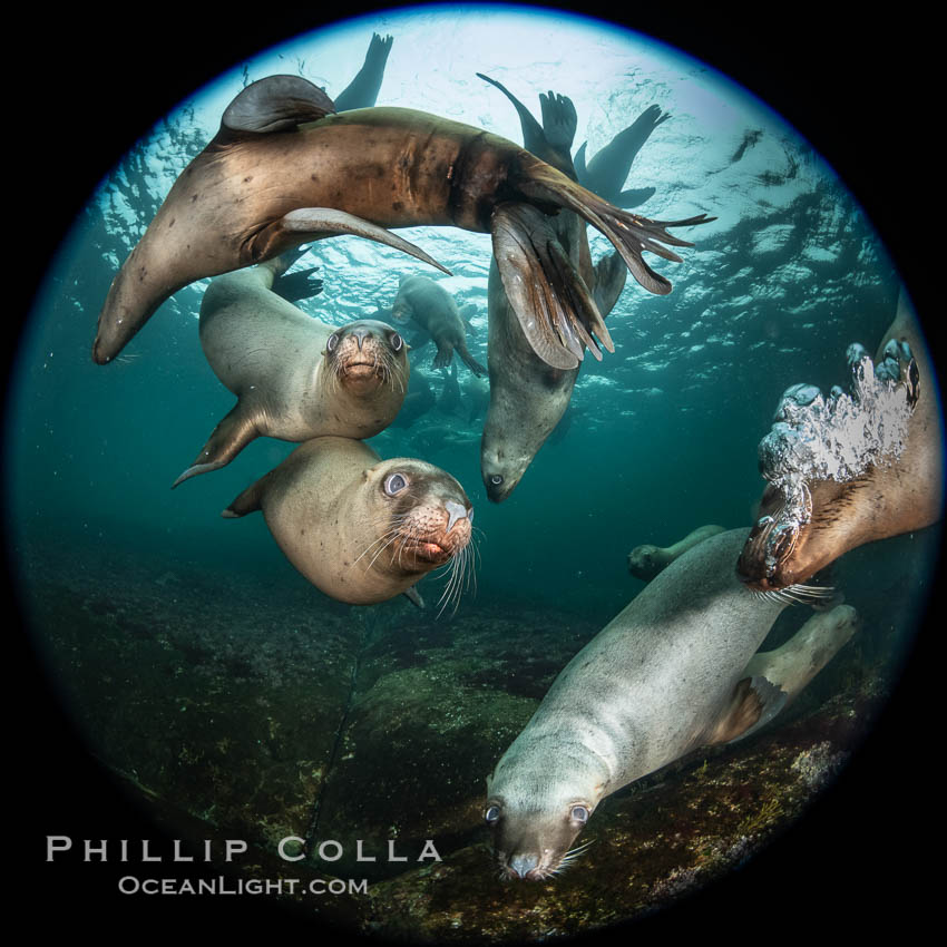 Steller sea lions underwater, Norris Rocks, Hornby Island, British Columbia, Canada., Eumetopias jubatus, natural history stock photograph, photo id 36060