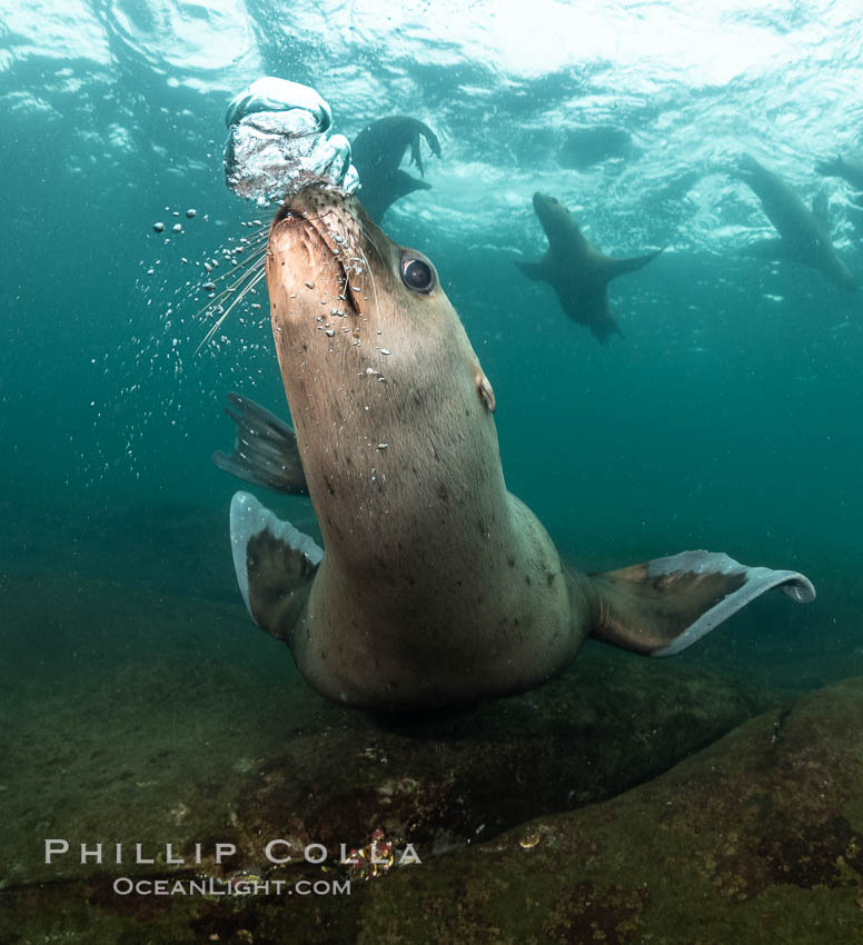 Steller sea lions underwater, Norris Rocks, Hornby Island, British Columbia, Canada., Eumetopias jubatus, natural history stock photograph, photo id 36068