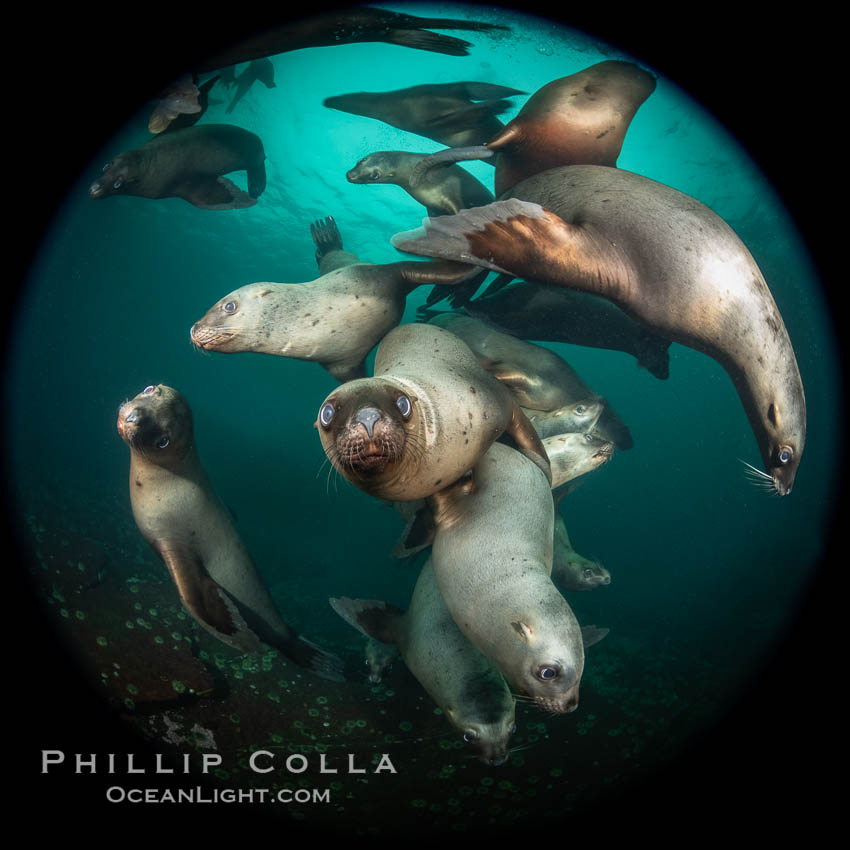 Steller sea lions underwater, Norris Rocks, Hornby Island, British Columbia, Canada., Eumetopias jubatus, natural history stock photograph, photo id 36059