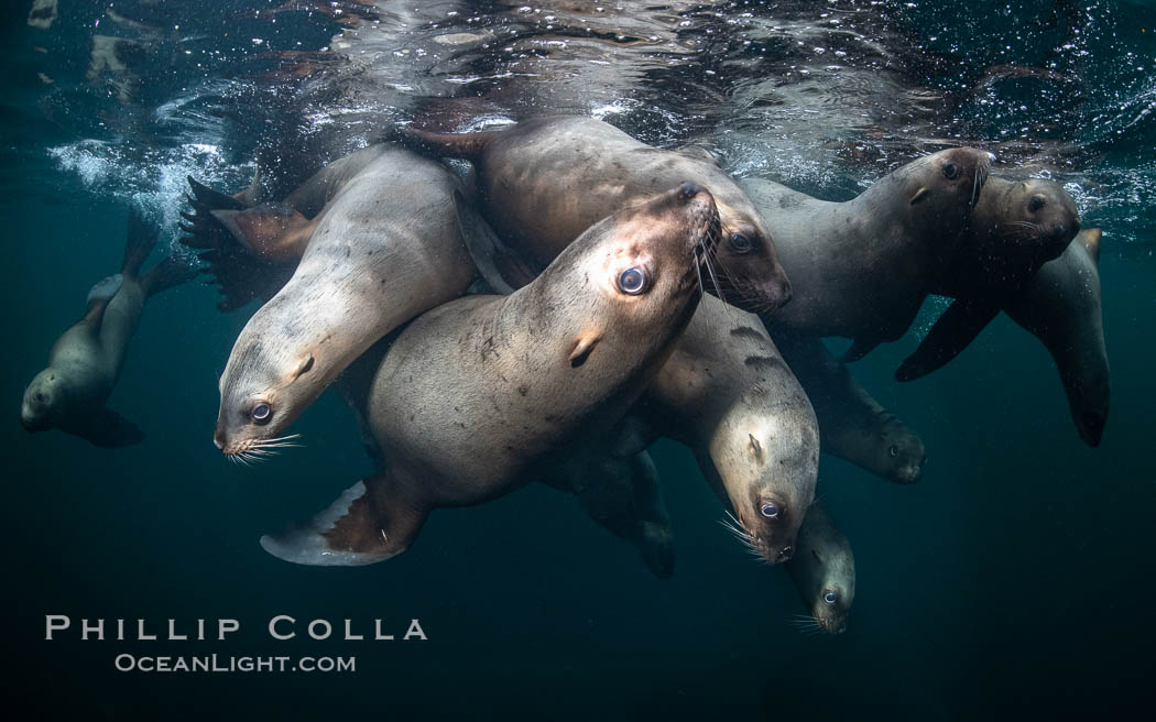 Steller sea lions underwater, Norris Rocks, Hornby Island, British Columbia, Canada., Eumetopias jubatus, natural history stock photograph, photo id 36057