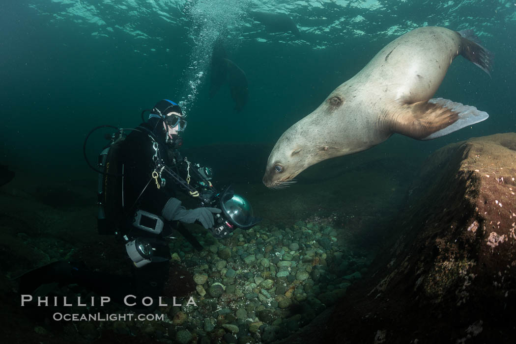 Steller sea lions underwater, Norris Rocks, Hornby Island, British Columbia, Canada. Hornby Island, British Columbia, Canada, Eumetopias jubatus, natural history stock photograph, photo id 32766