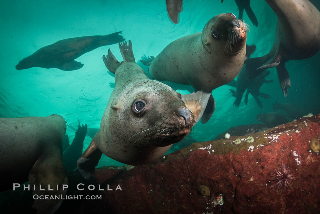 Steller sea lions underwater, Norris Rocks, Hornby Island, British Columbia, Canada. Hornby Island, British Columbia, Canada, Eumetopias jubatus, natural history stock photograph, photo id 32770