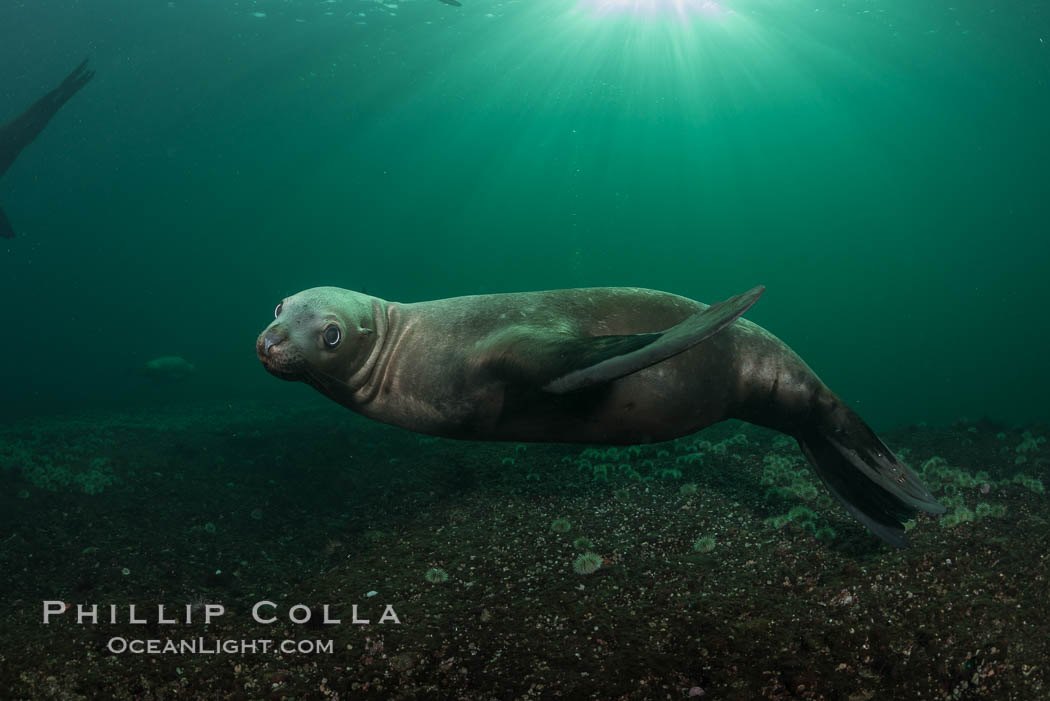 Steller sea lions underwater, Norris Rocks, Hornby Island, British Columbia, Canada. Hornby Island, British Columbia, Canada, Eumetopias jubatus, natural history stock photograph, photo id 32786