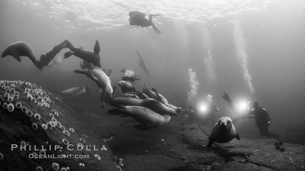 Steller sea lions underwater, black and white, Norris Rocks, Hornby Island, British Columbia, Canada. Hornby Island, British Columbia, Canada, Eumetopias jubatus, natural history stock photograph, photo id 32790