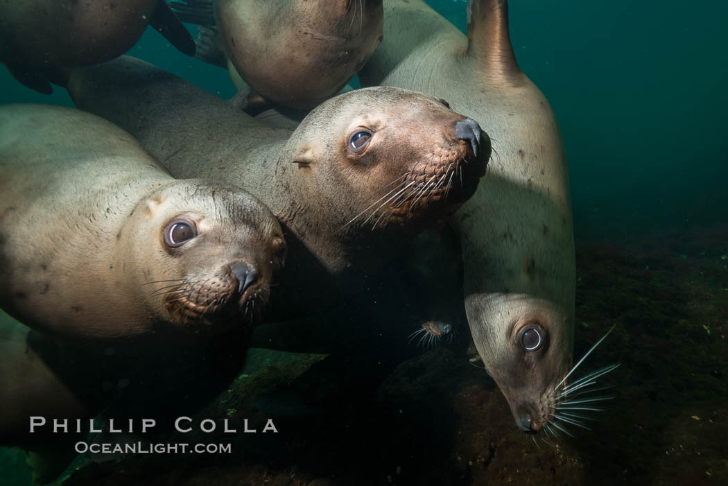 Steller sea lions underwater, Norris Rocks, Hornby Island, British Columbia, Canada., Eumetopias jubatus, natural history stock photograph, photo id 32704