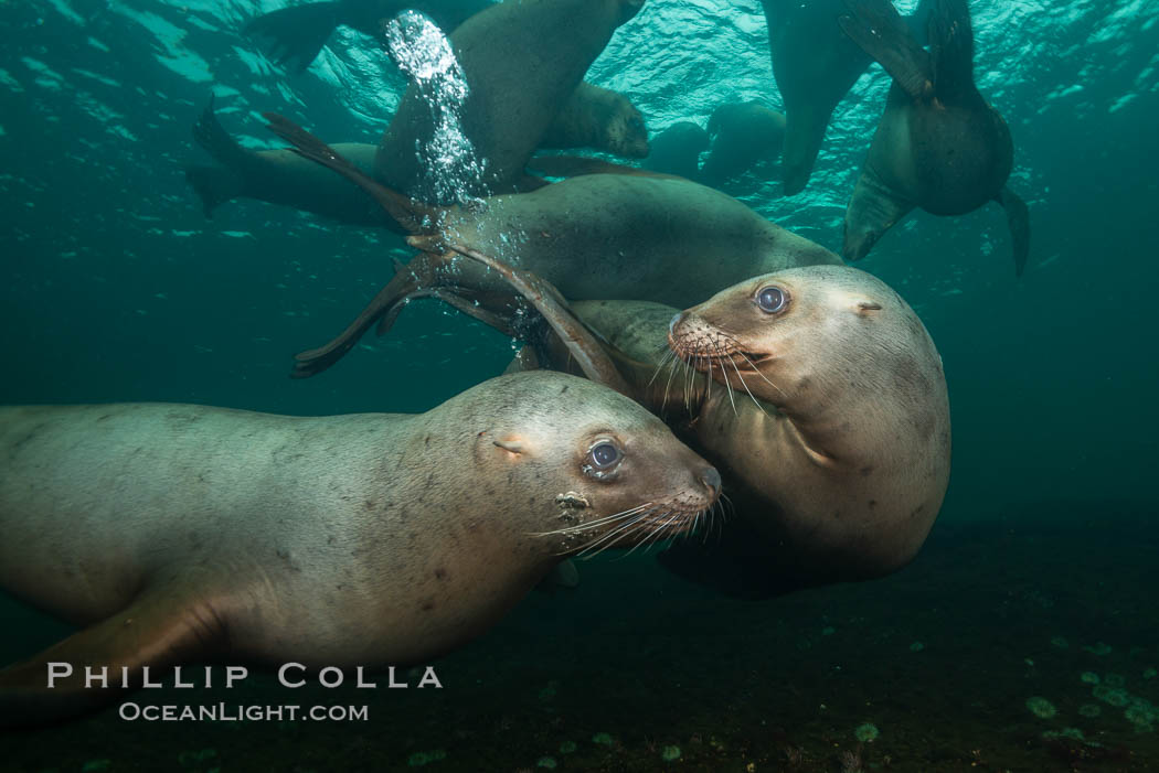 Steller sea lions underwater, Norris Rocks, Hornby Island, British Columbia, Canada. Hornby Island, British Columbia, Canada, Eumetopias jubatus, natural history stock photograph, photo id 32740