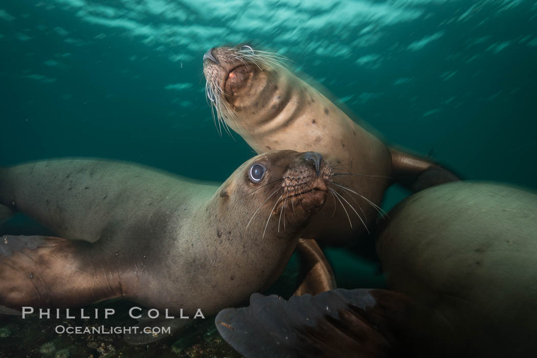 Steller sea lions underwater, Norris Rocks, Hornby Island, British Columbia, Canada. Hornby Island, British Columbia, Canada, Eumetopias jubatus, natural history stock photograph, photo id 32744