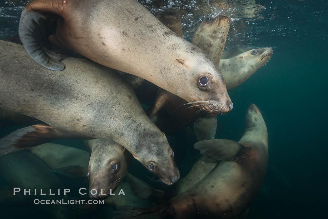 Steller sea lions underwater, Norris Rocks, Hornby Island, British Columbia, Canada. Hornby Island, British Columbia, Canada, Eumetopias jubatus, natural history stock photograph, photo id 32760
