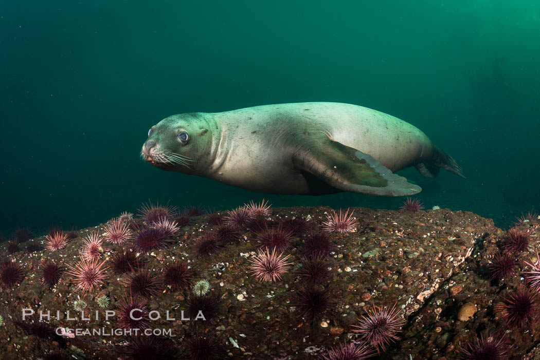 Steller sea lions underwater, Norris Rocks, Hornby Island, British Columbia, Canada. Hornby Island, British Columbia, Canada, Eumetopias jubatus, natural history stock photograph, photo id 32780