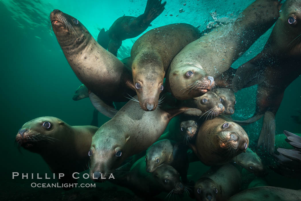 Steller sea lions underwater, Norris Rocks, Hornby Island, British Columbia, Canada. Hornby Island, British Columbia, Canada, Eumetopias jubatus, natural history stock photograph, photo id 32663