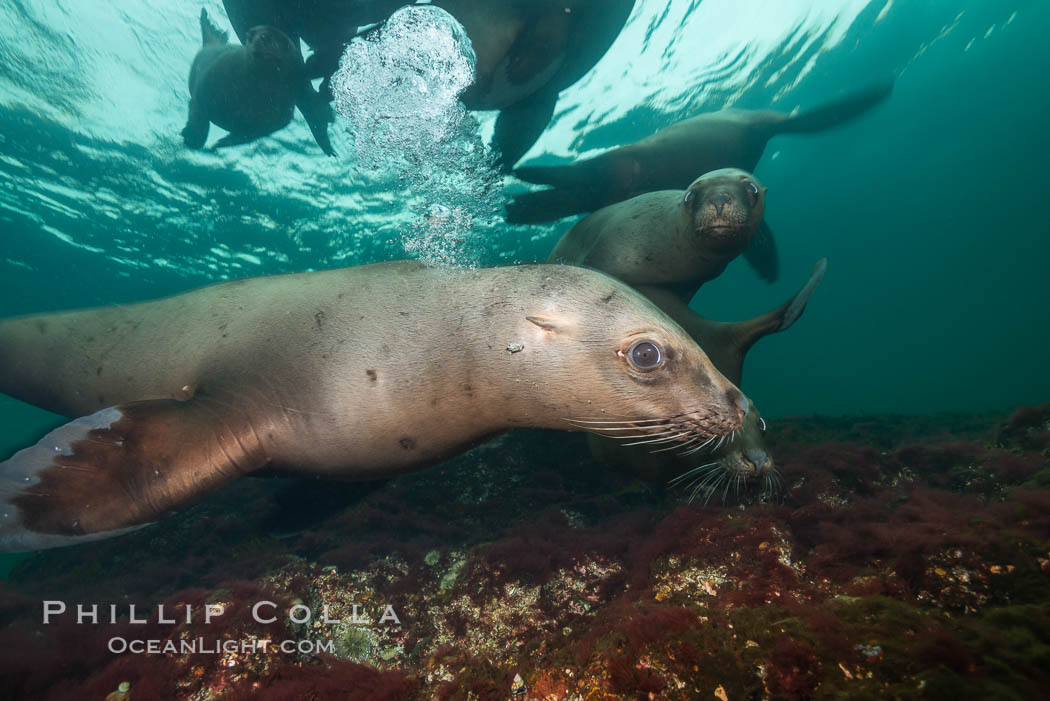 Steller sea lions underwater, Norris Rocks, Hornby Island, British Columbia, Canada., Eumetopias jubatus, natural history stock photograph, photo id 32699
