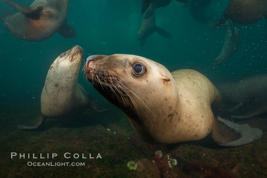 Steller sea lions underwater, Norris Rocks, Hornby Island, British Columbia, Canada. Hornby Island, British Columbia, Canada, Eumetopias jubatus, natural history stock photograph, photo id 32763