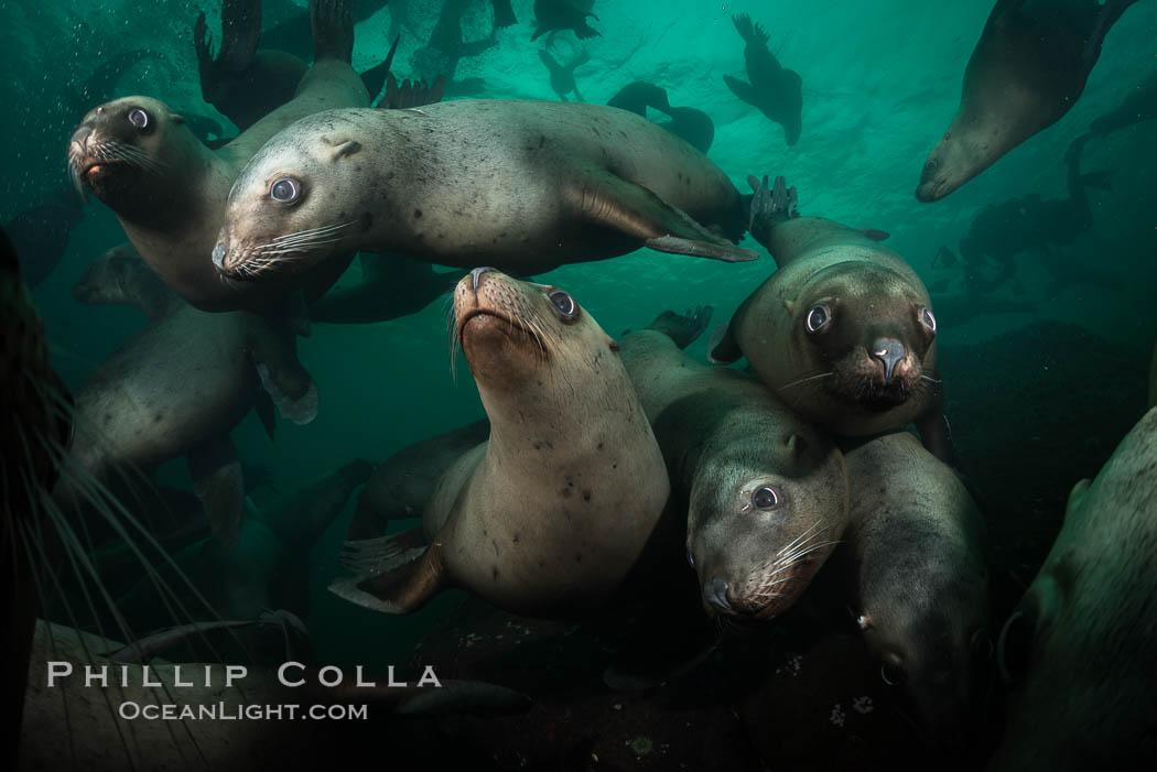 Steller sea lions underwater, Norris Rocks, Hornby Island, British Columbia, Canada. Hornby Island, British Columbia, Canada, Eumetopias jubatus, natural history stock photograph, photo id 32771