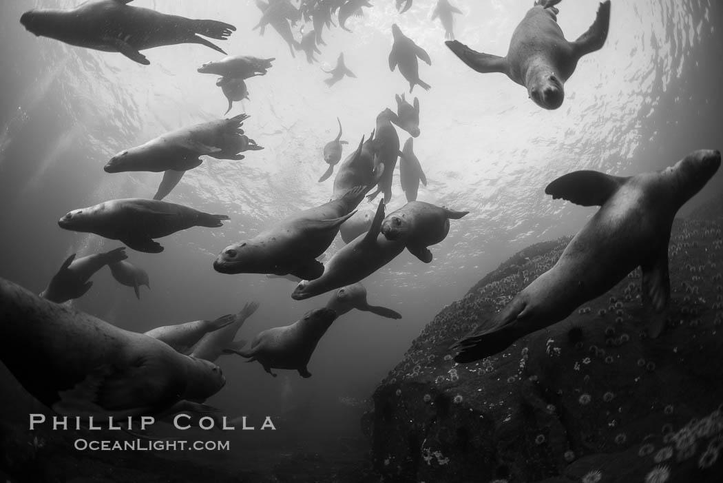 Steller sea lions underwater, black and white, Norris Rocks, Hornby Island, British Columbia, Canada. Hornby Island, British Columbia, Canada, Eumetopias jubatus, natural history stock photograph, photo id 32791
