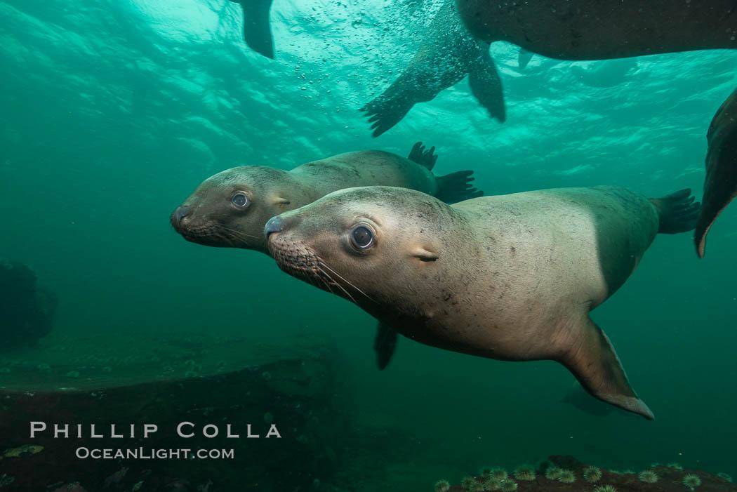 Steller sea lions underwater, Norris Rocks, Hornby Island, British Columbia, Canada. Hornby Island, British Columbia, Canada, Eumetopias jubatus, natural history stock photograph, photo id 32803