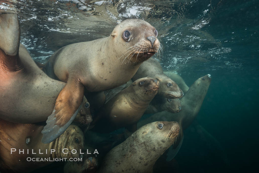Steller sea lions underwater, Norris Rocks, Hornby Island, British Columbia, Canada. Hornby Island, British Columbia, Canada, Eumetopias jubatus, natural history stock photograph, photo id 32721