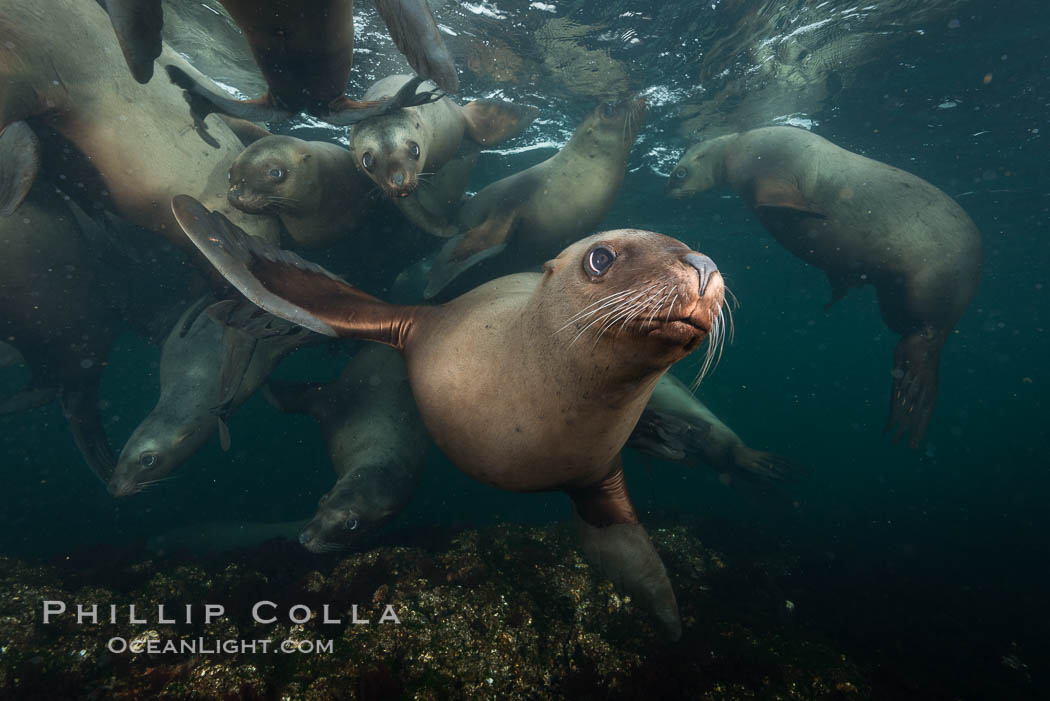 Steller sea lions underwater, Norris Rocks, Hornby Island, British Columbia, Canada. Hornby Island, British Columbia, Canada, Eumetopias jubatus, natural history stock photograph, photo id 32761