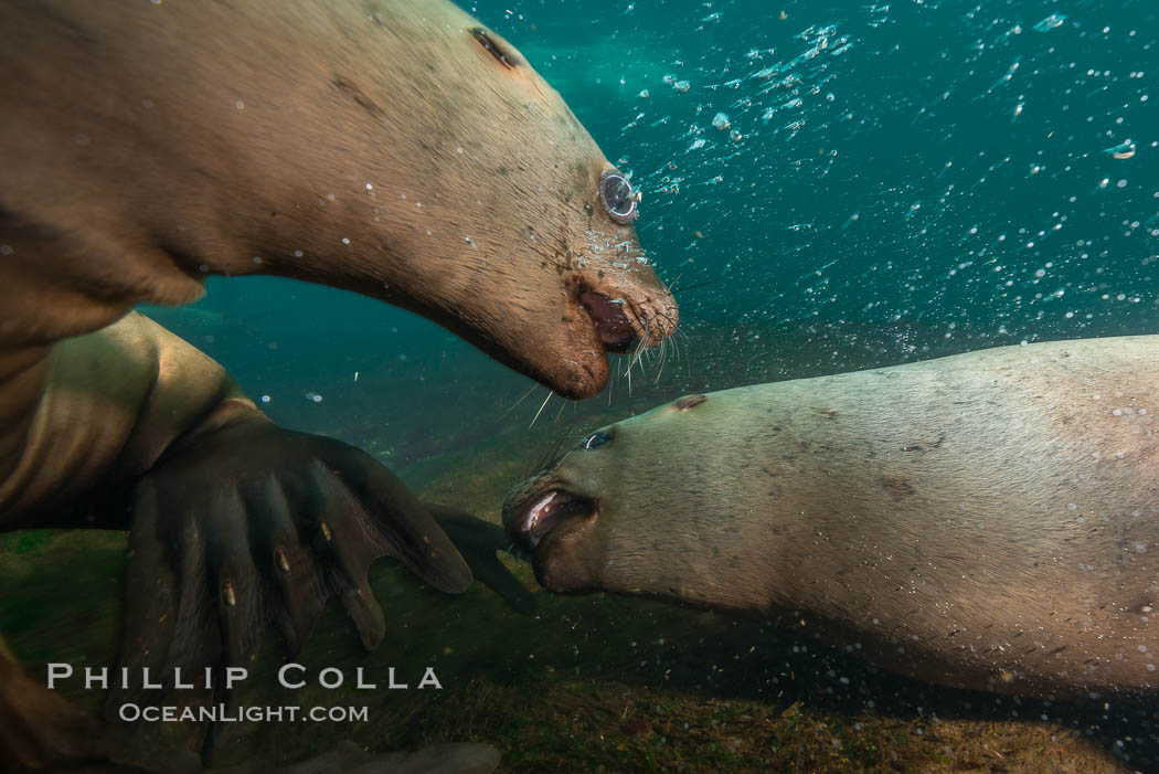 Steller sea lions underwater, Norris Rocks, Hornby Island, British Columbia, Canada. Hornby Island, British Columbia, Canada, Eumetopias jubatus, natural history stock photograph, photo id 32765