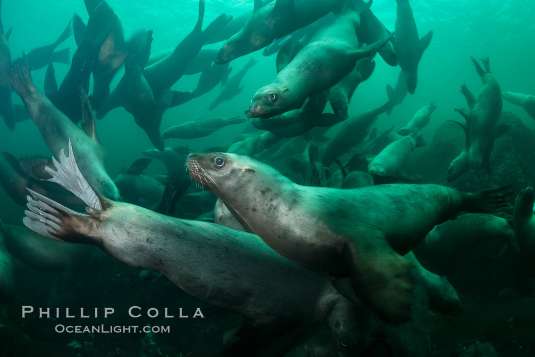 Steller sea lions underwater, Norris Rocks, Hornby Island, British Columbia, Canada. Hornby Island, British Columbia, Canada, Eumetopias jubatus, natural history stock photograph, photo id 32777