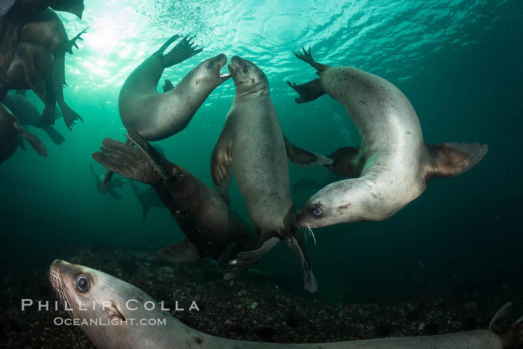 Steller sea lions underwater, Norris Rocks, Hornby Island, British Columbia, Canada. Hornby Island, British Columbia, Canada, Eumetopias jubatus, natural history stock photograph, photo id 32781