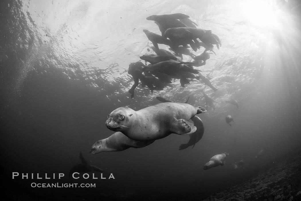 Steller sea lions underwater, black and white, Norris Rocks, Hornby Island, British Columbia, Canada. Hornby Island, British Columbia, Canada, Eumetopias jubatus, natural history stock photograph, photo id 32785