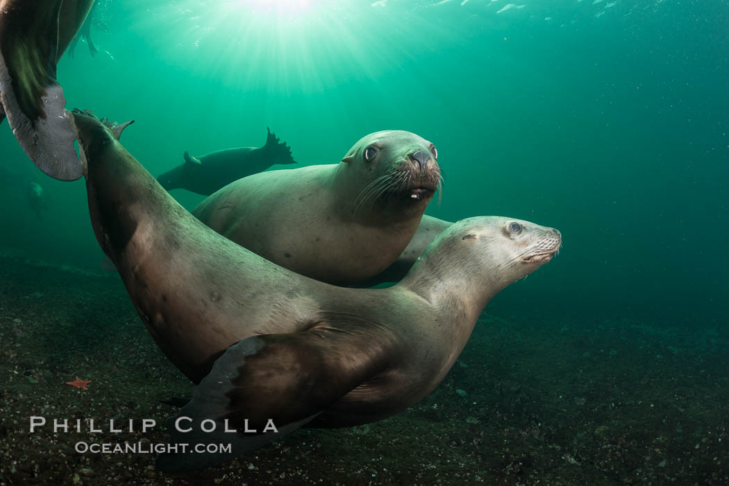 Steller sea lions underwater, Norris Rocks, Hornby Island, British Columbia, Canada. Hornby Island, British Columbia, Canada, Eumetopias jubatus, natural history stock photograph, photo id 32805