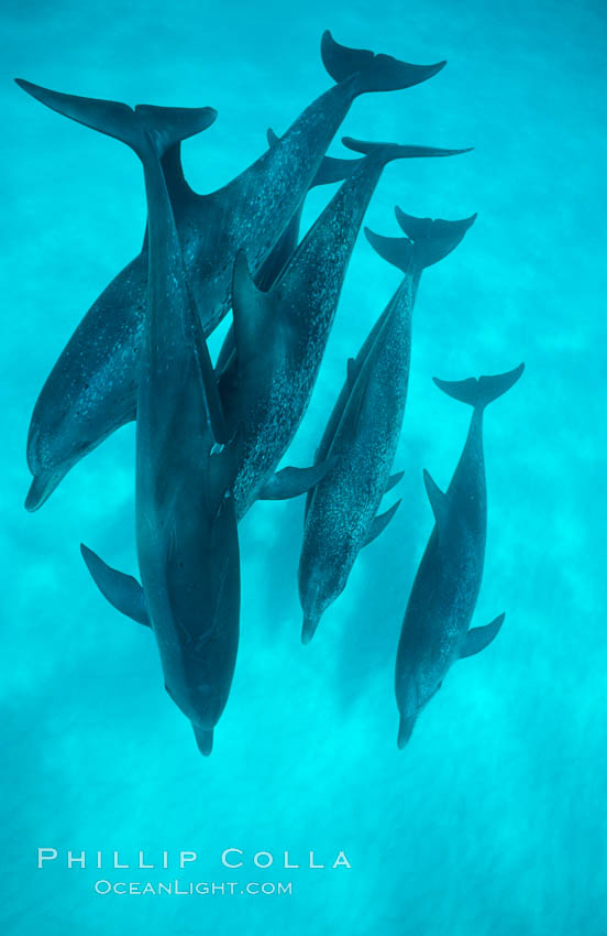 Atlantic spotted dolphin. Bahamas, Stenella frontalis, natural history stock photograph, photo id 00002