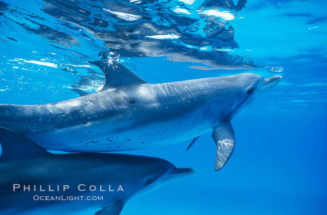Atlantic spotted dolphin. Bahamas, Stenella frontalis, natural history stock photograph, photo id 00676