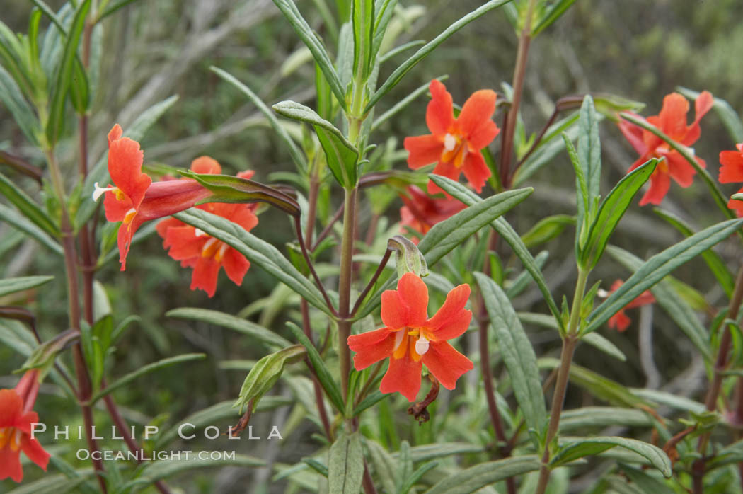 Sticky-leaf monkeyflower, or sticky monkeyflower. San Elijo Lagoon, Encinitas, California, USA, Mimulus aurantiacus, natural history stock photograph, photo id 11674