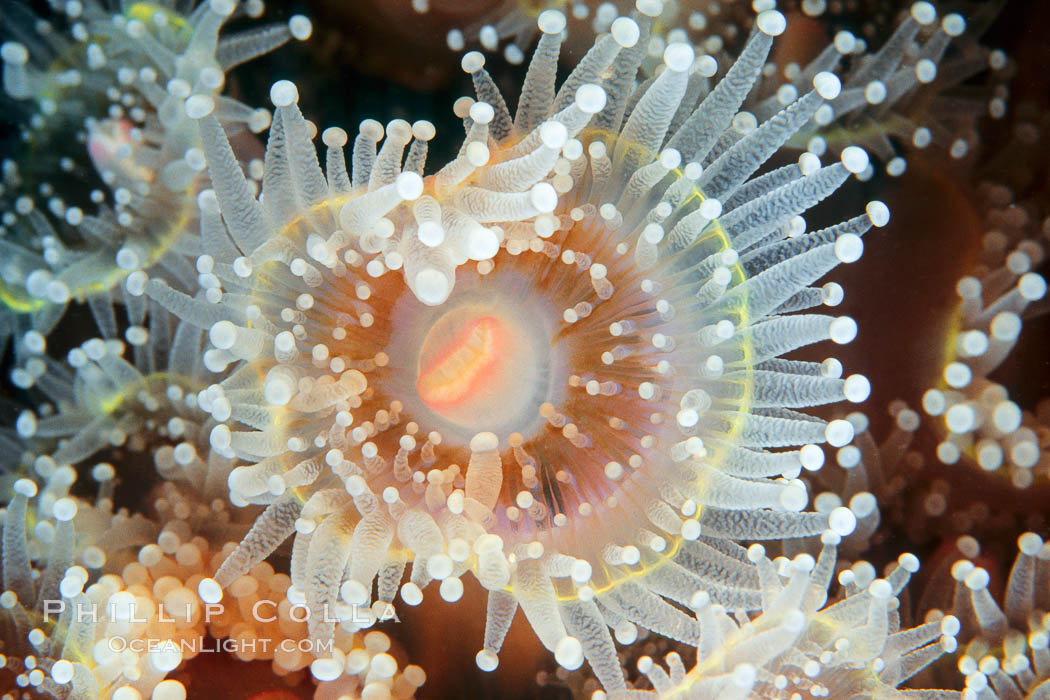 Polyp of a strawberry anemone (club-tipped anemone, more correctly a corallimorph). Scripps Canyon, La Jolla, California, USA, Corynactis californica, natural history stock photograph, photo id 00597