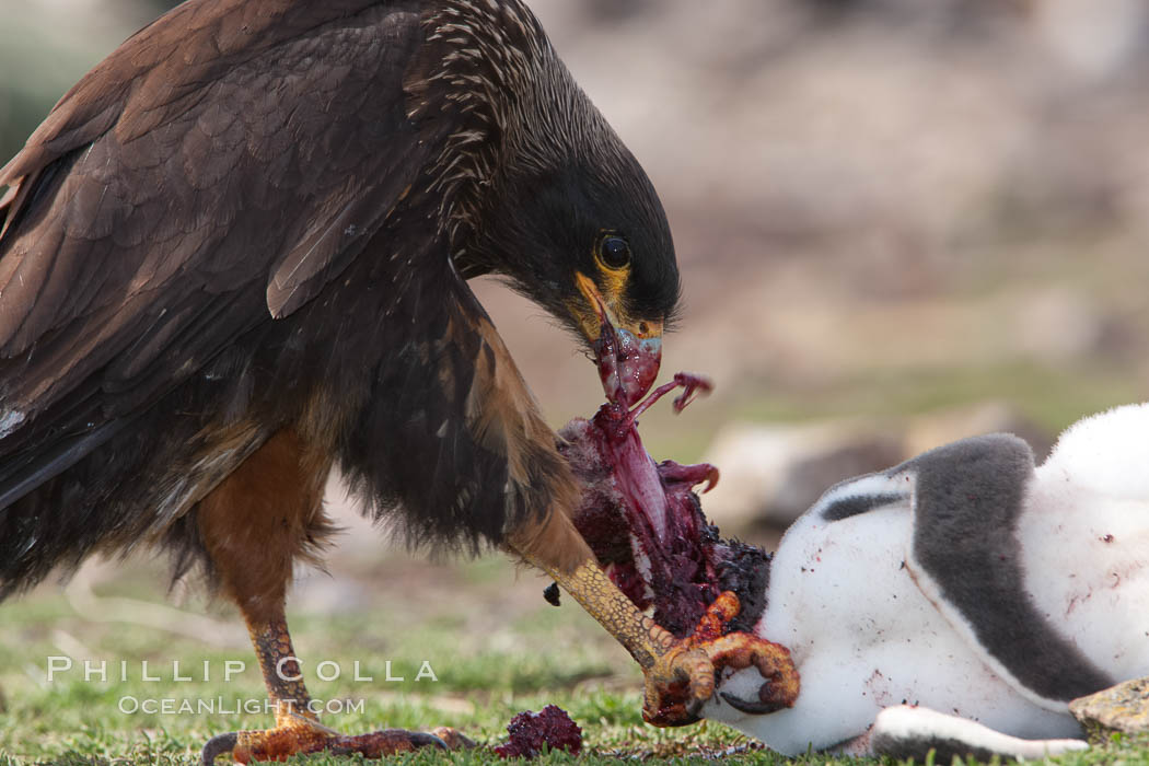 Striated caracara feeds upon a gentoo penguin chick it has just killed. Steeple Jason Island, Falkland Islands, United Kingdom, Phalcoboenus australis, Pygoscelis papua, natural history stock photograph, photo id 24086
