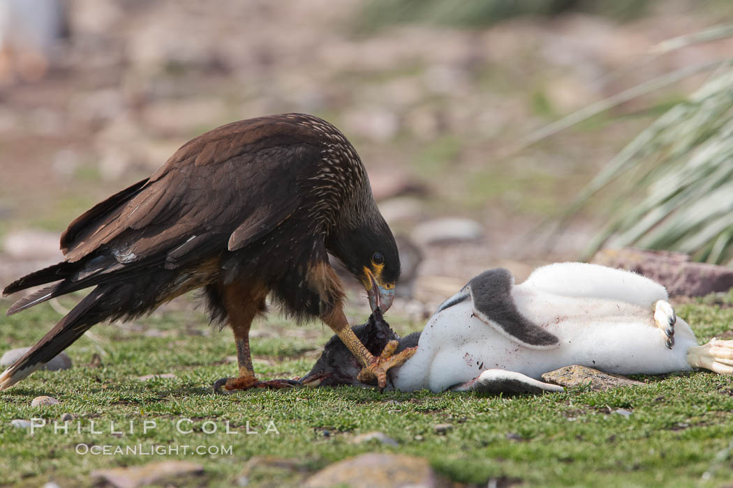Striated caracara feeds upon a gentoo penguin chick it has just killed. Steeple Jason Island, Falkland Islands, United Kingdom, Phalcoboenus australis, Pygoscelis papua, natural history stock photograph, photo id 24280