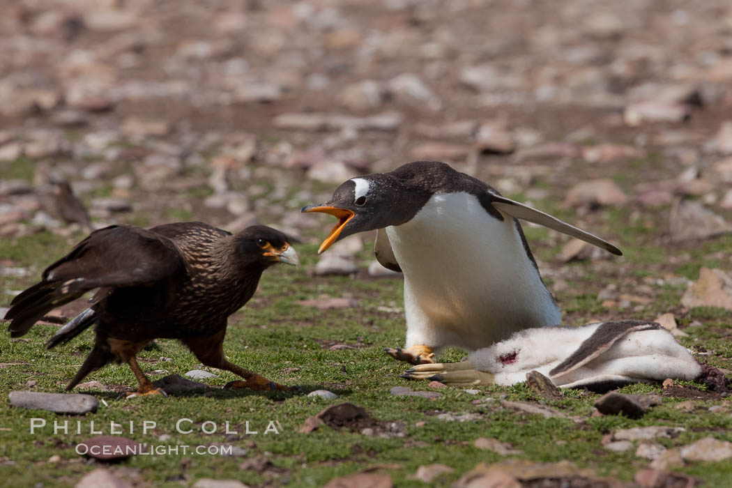 Gentoo penguin defends its dead chick (right), from the striated caracara (left) that has just killed it.  The penguin continued to defend its lifeless chick for hours, in spite of the futulity and inevitabliityof the final result.  Striated caracaras eventually took possession of the dead chick and fed upon it. Steeple Jason Island, Falkland Islands, United Kingdom, Phalcoboenus australis, Pygoscelis papua, natural history stock photograph, photo id 24207