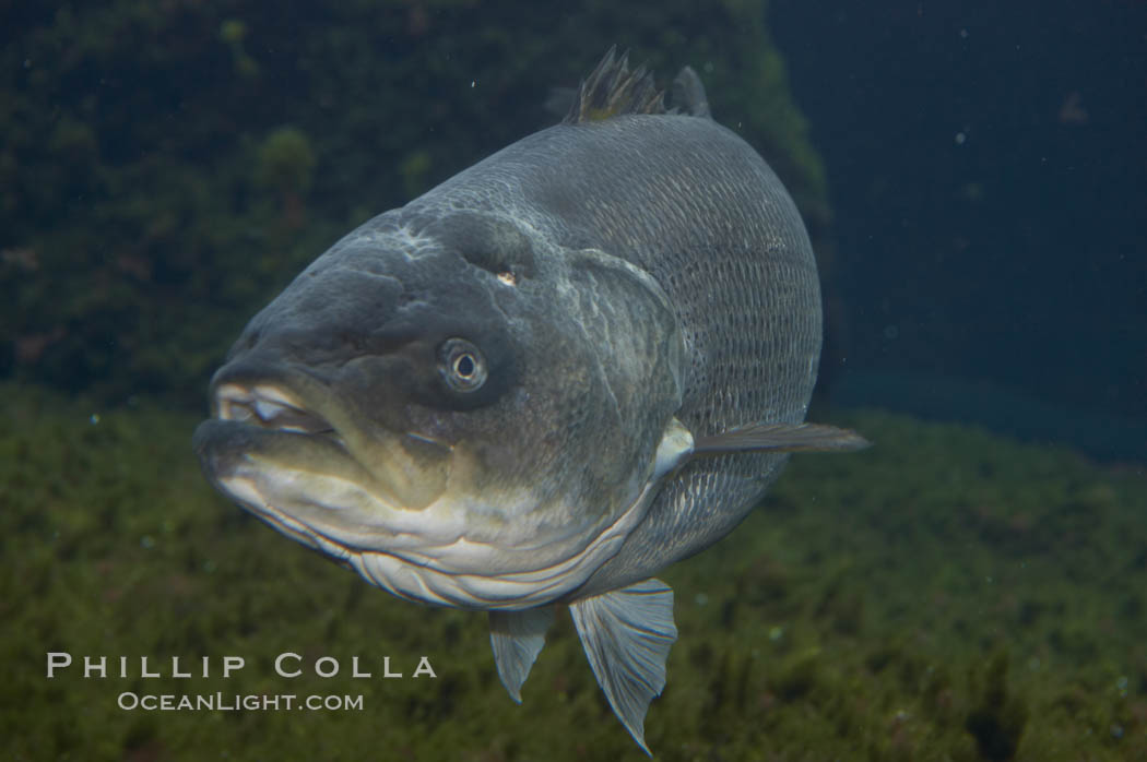 Striped bass (striper, striped seabass)., Morone saxatilis, natural history stock photograph, photo id 10976