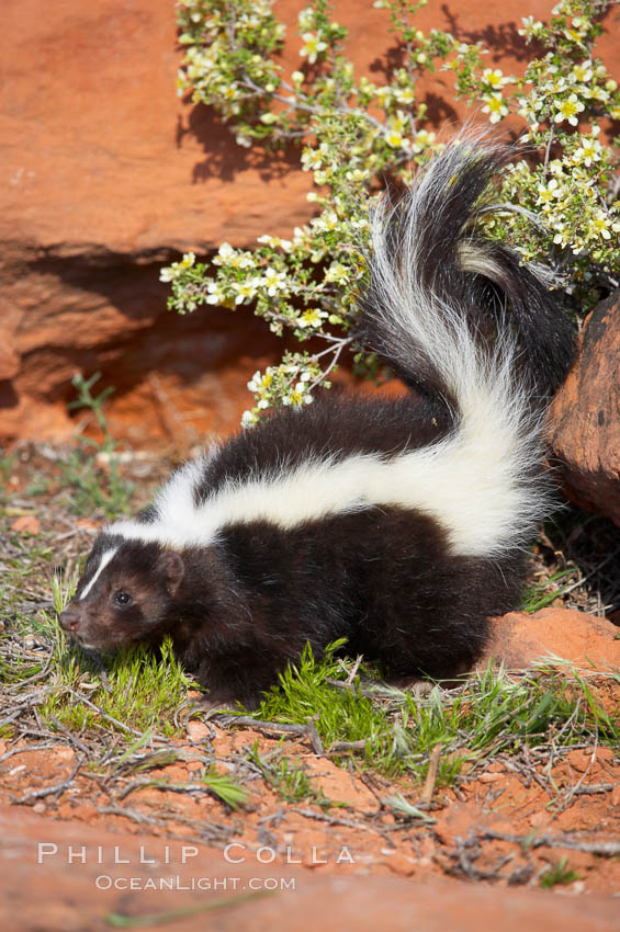Striped skunk.  The striped skunk prefers somewhat open areas with a mixture of habitats such as woods, grasslands, and agricultural clearings. They are usually never found further than two miles from a water source. They are also often found in suburban areas because of the abundance of buildings that provide them with cover., Mephitis mephitis, natural history stock photograph, photo id 12060