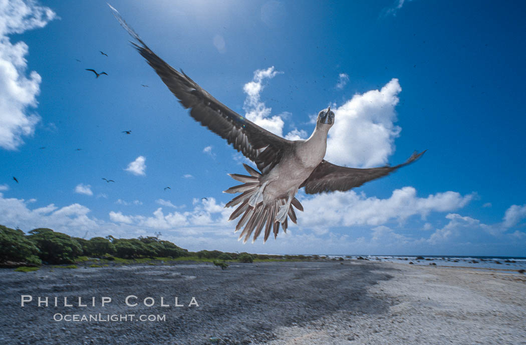 Brown booby. Rose Atoll National Wildlife Sanctuary, American Samoa, USA, Sula leucogaster, natural history stock photograph, photo id 00915