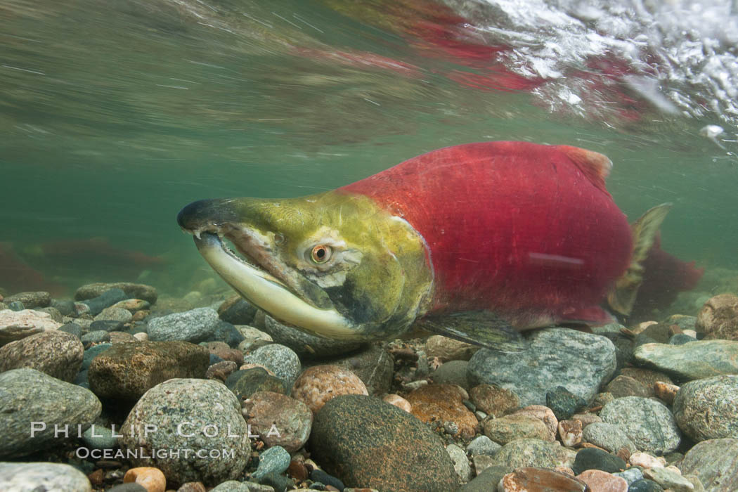A male sockeye salmon, showing injuries sustained as it migrated hundreds of miles from the ocean up the Fraser River, swims upstream in the Adams River to reach the place where it will fertilize eggs laid by a female in the rocks.  It will die soon after spawning. Roderick Haig-Brown Provincial Park, British Columbia, Canada, Oncorhynchus nerka, natural history stock photograph, photo id 26162