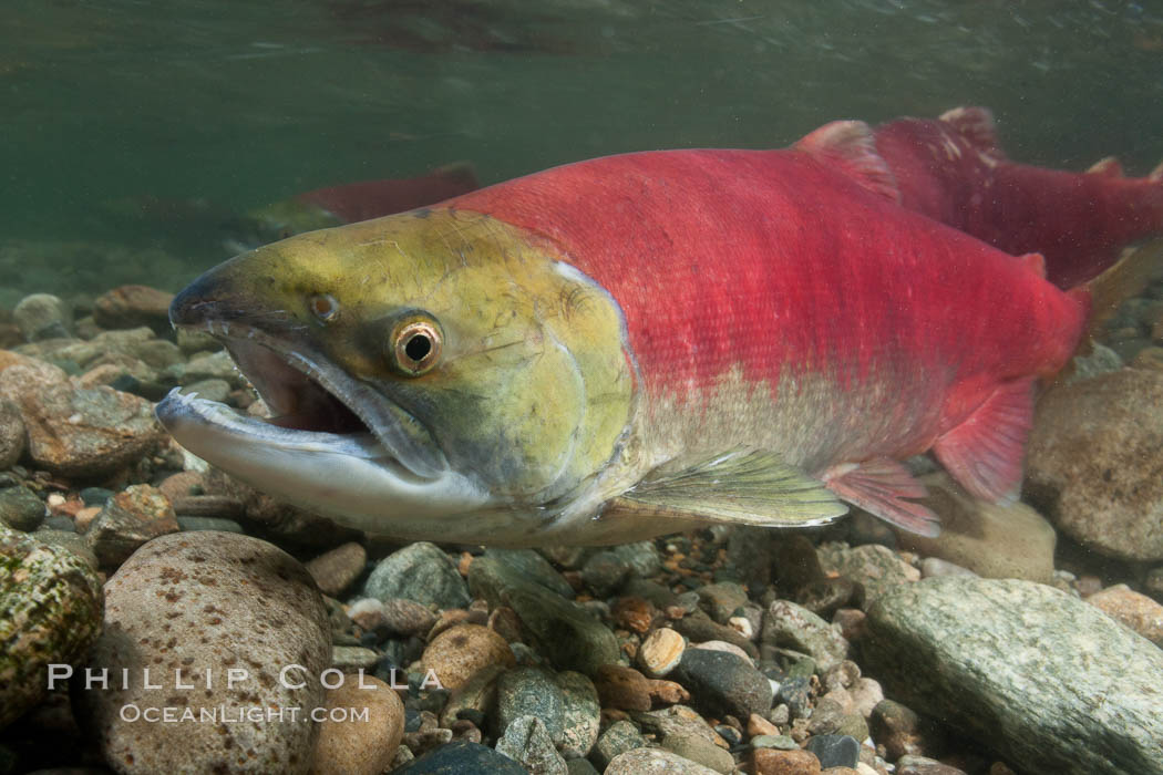 Adams River sockeye salmon.  A female sockeye salmon swims upstream in the Adams River to spawn, having traveled hundreds of miles upstream from the ocean. Roderick Haig-Brown Provincial Park, British Columbia, Canada, Oncorhynchus nerka, natural history stock photograph, photo id 26168